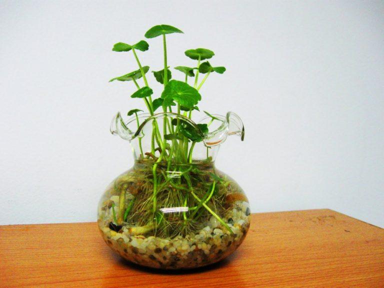 trồng rau má trong nước