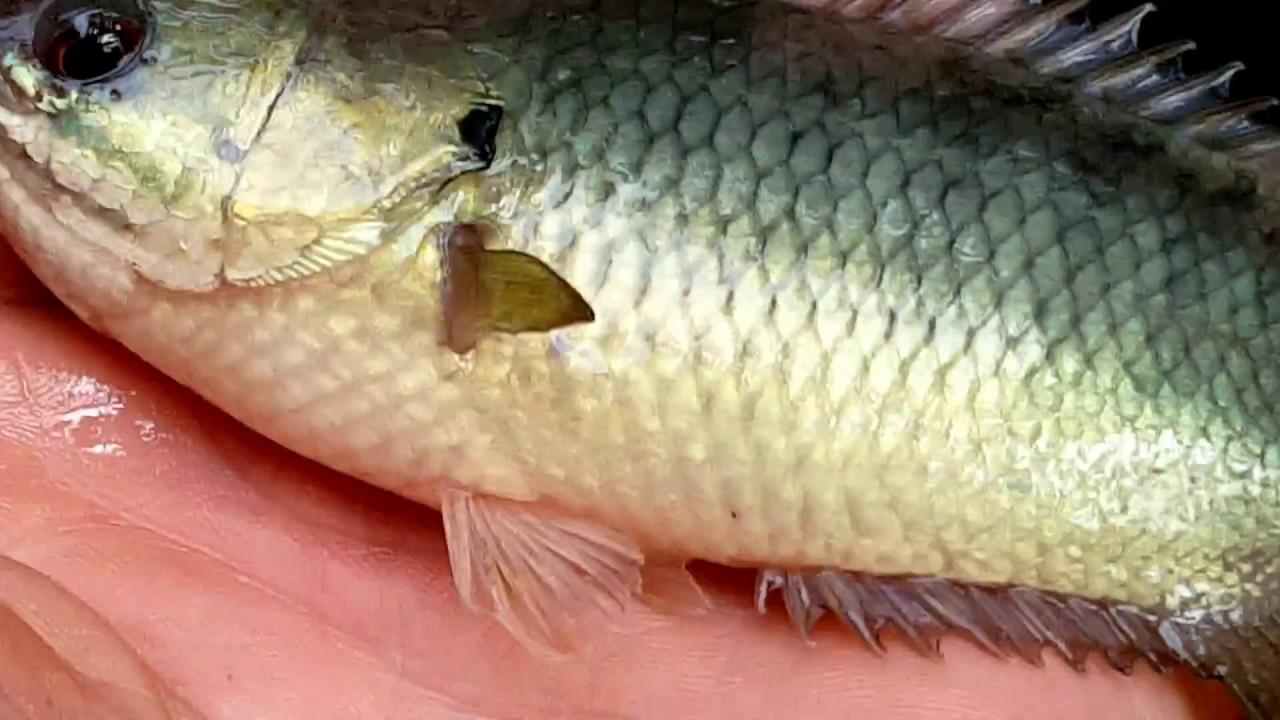 Chế biến cá rô đồng
