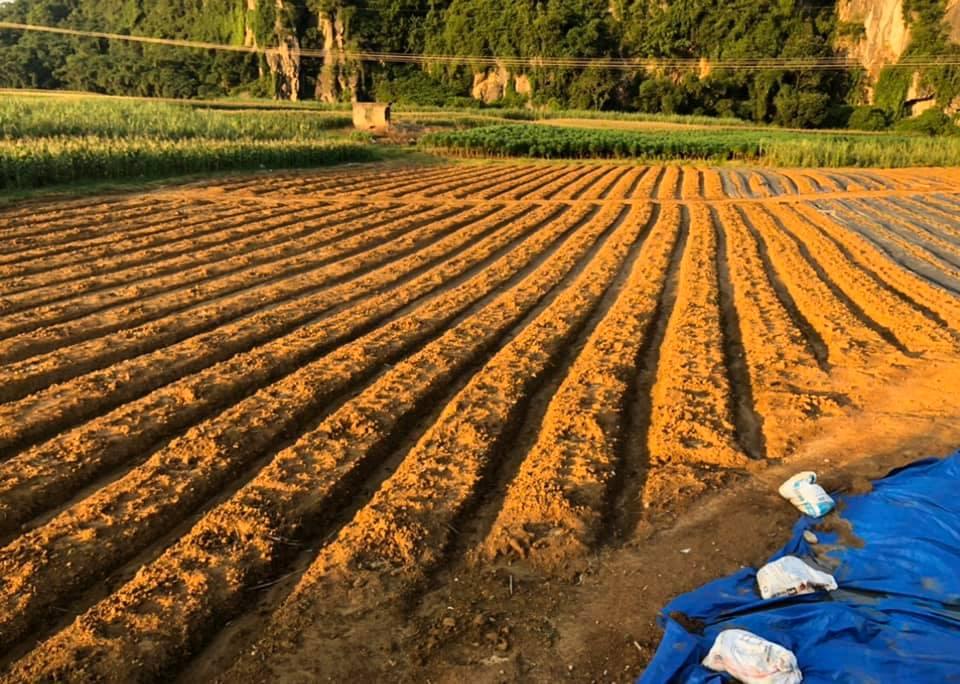 hạt giống măng tây xanh0